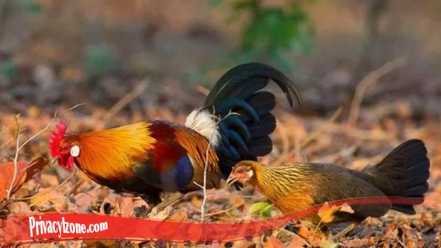 Cukup Unik Sifat Dari Ayam