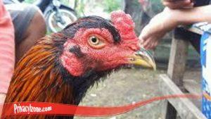 Lebih Dalam Mengenai Ayam Brewok S128