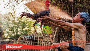 Paling Penting Cara Rawat Ayam Jago Sebelum Tanding