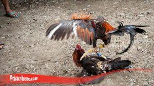 Paling Penting Ketahui Ayam Tarung Super