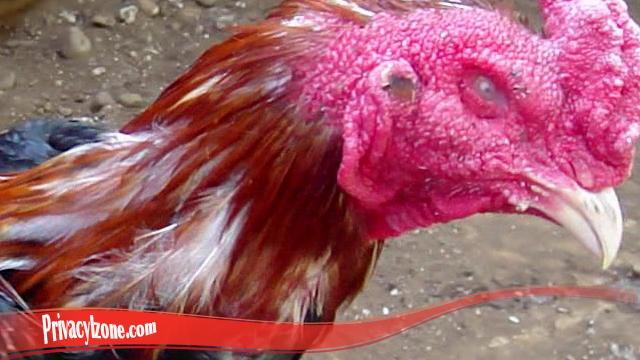 Paling Penting Ketahui Cara Sembuhkan Mata Ayam S128