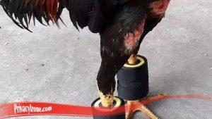 Paling Penting ketahui Cara besarkan Otot Kaki Ayam SV388