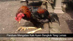 Panduan Mengatasi Kaki Ayam Bangkok Yang Lemas
