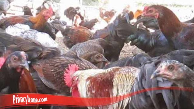 Pelajaran Penting Jika Ingin Ternak Ayam Jago Super