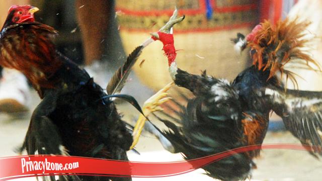 Pengetahuan Mengenai Bongkar Teknik Dari Ayam Bangkok
