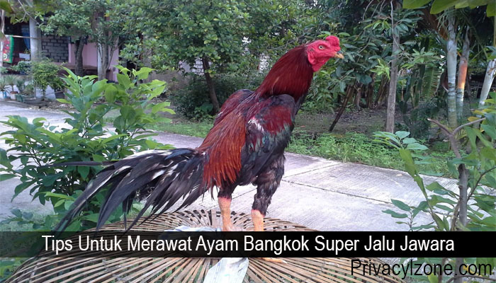 Tips Untuk Merawat Ayam Bangkok Super Jalu Jawara
